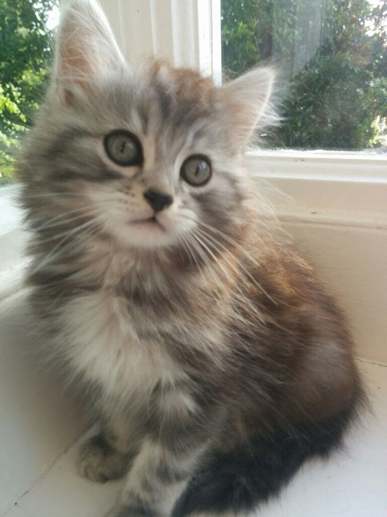 Very Sweet Kittens Norwegian Forest Crossed With Long Haired Silver