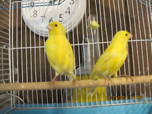 2   yellow baby canary's  left ,  for sale---6 months old