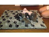 Puppy staffys
