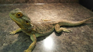 SUPER SWEET MALE BEARDED DRAGON