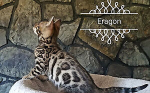 Bengal male kitten, or Mom!
