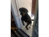 Rottweiler bitch for sale