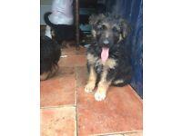 Alsatian Collie cross puppies