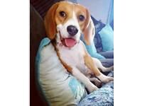 8 month beagle