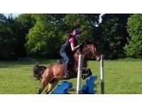 Fofsway Signiture (Conker) Registered British Riding Pony, 13h Bay GeldingFor Sale