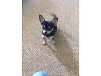 Chihuahua/pom