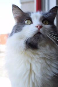 LOST CAT - GREY and WHITE LONG HAIR
