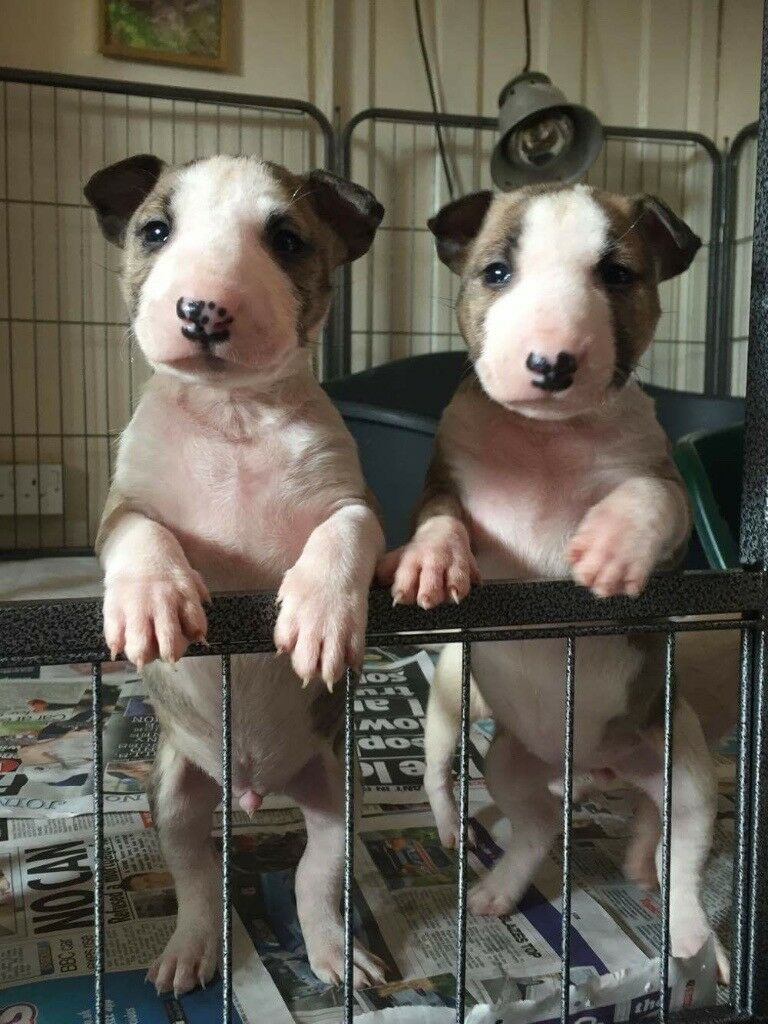Very Small Minature English Bull Terrier Puppies In Oswestry