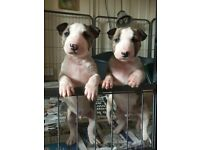 VERY SMALL Minature English Bull Terrier Puppies