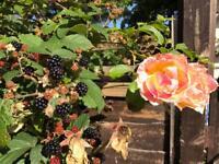 Rose bush, massive, free!
