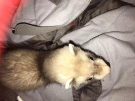 8 weeks baby ferret and cage