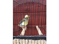 Canary hen