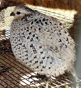 I WANT TO BUY: 1-2 QUAIL Laying Hens (Coturnix or Courtnix Hens)