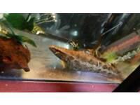 Snakehead (channa) fish