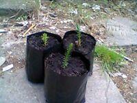 monkey puzzle plants/seedlings