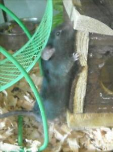 """Young Male Small & Furry - Mouse: """"Reginald"""""""