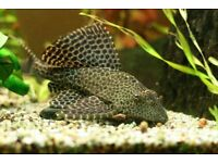 I am selling my beutiful Lepard plecostomus, hes 11-12 inches long hes out grown my tank...