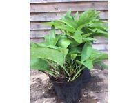 Comfrey Plants - Medicinal / Herbal - 5 -6 litre pot