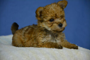 Litter of Yorkiepoos (Yorkie X Toy Poodle)