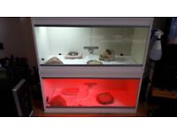 Leopard geckos (female and male) with 2 brand new vivariums (nice decor) + all extras that you need!
