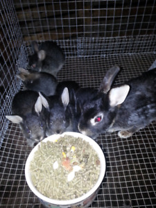 Netherland dwarf bunnies and mother for sale