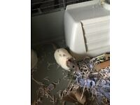 2 female rats need a loving home