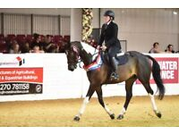 16.1hh 8 Year Old Coloured Gelding