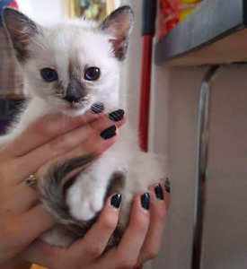 Siamese kittens / chatons siamois / tortie / flame point