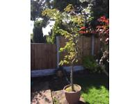 Roman Tree - Pot Grown