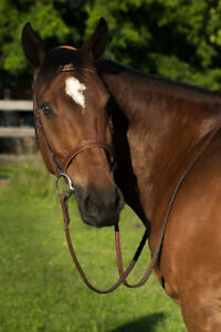 Amateur Friendly Dutch Warmblood for sale!