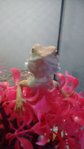 Female Citrus Bearded Dragon