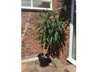 Mature Yucca plant,12 yo , 2 metres tall , healthy condition