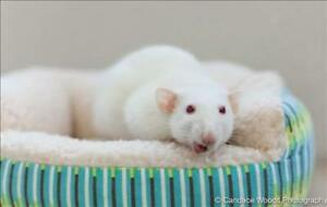 "Adult Female Small & Furry - Rat: ""Libby With Lyla"""