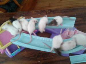 Baby rats for sale