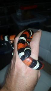 Female Honduran milk snake.
