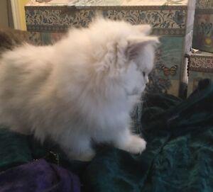 Magnifiques chatons Persan chinchilla et golden