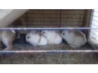 Rabbits full family 3 babies father and mother for sale with hutch and food