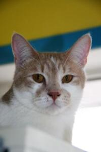 "Young Male Cat - Domestic Short Hair (Orange & White): ""Ramsey"""