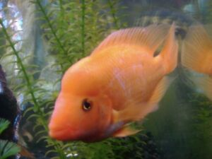 Looking for Midas or red devil cichlid fish