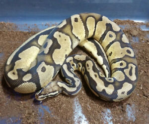 Ball Pythons; 50% OFF