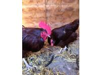 Pair of Rhode Island Red chickens