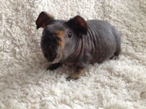 RARE Skinny Pigs (Hairless Guinea pigs) Ready to Leave!