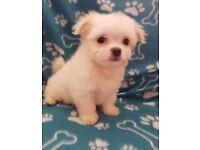 Maltchi puppy maltese x longhair chihuahua small cute cuddly