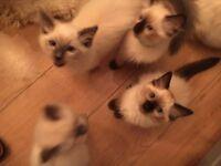 Ragdoll kittens- ready now.