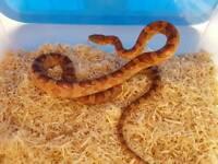 Corn Snakes