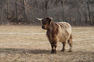Highland Cow, approximately 5 years old