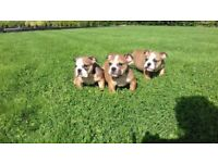 IKC Reg English Bulldog Puppies For Sale