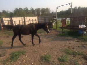 Black yearling stud colt
