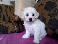 Pure BISCHON FRISE puppies for sale Girl £700,