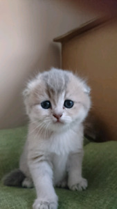 Beautiful scottish fold and straight kittens